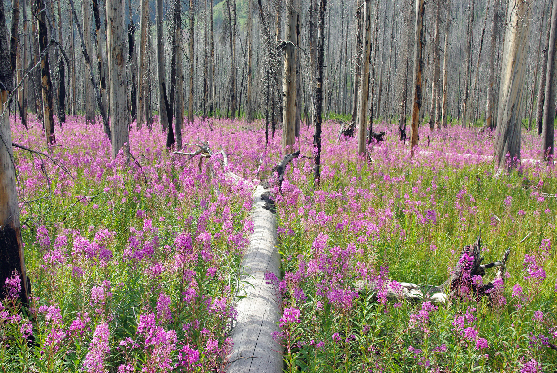 """Flowers after Fire in the Kootenay NP"" - by Jochen Steinhage"